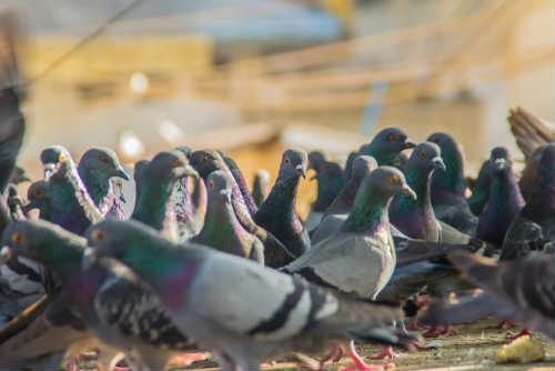 plaga aves